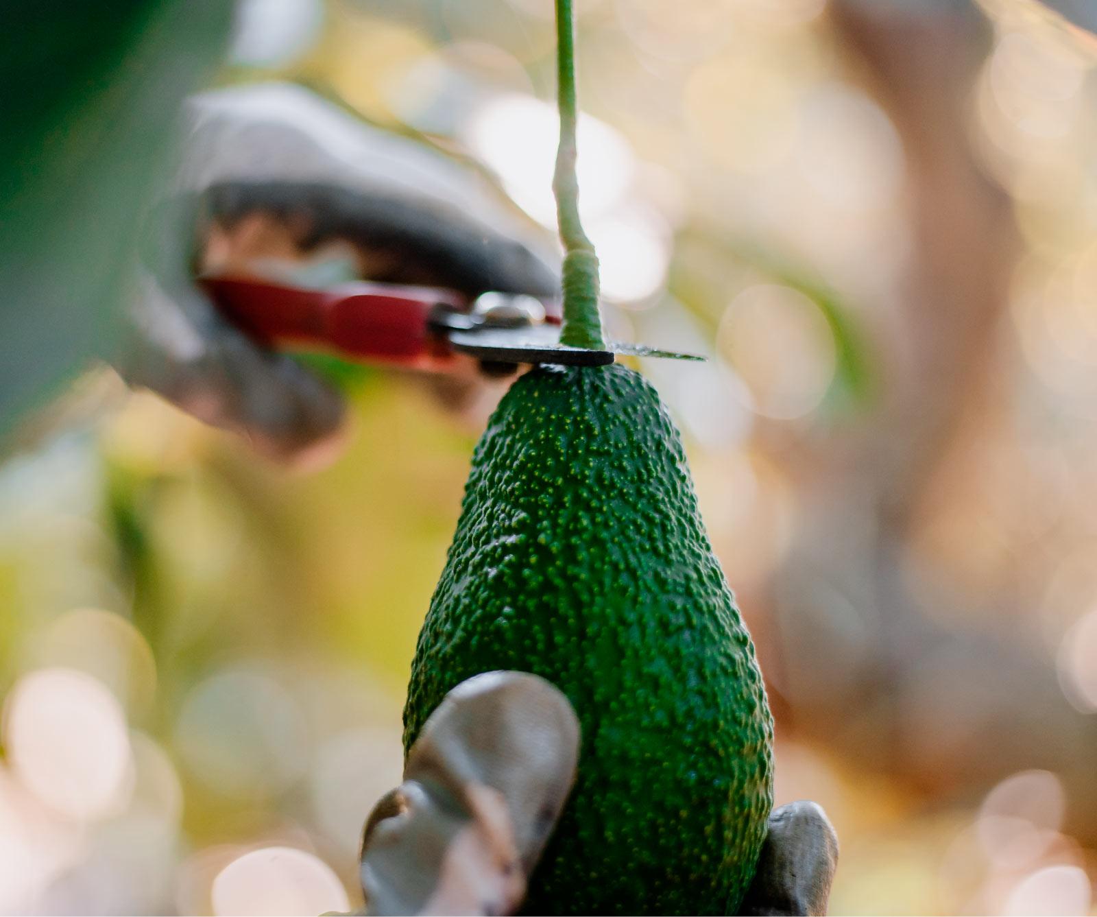 la filiera avocado esquisita Spreafico